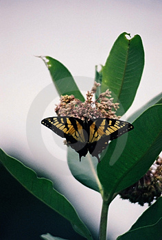 Butterfly Free Stock Image