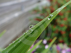 Water On Leaf Tips Macro Free Stock Photography