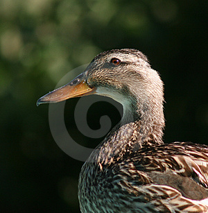 Duck Head And Shoulders Free Stock Image