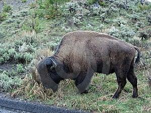 Onde o búfalo vagueia Imagem de Stock Royalty Free