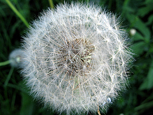 Dandelion's Fuzz Stock Photography