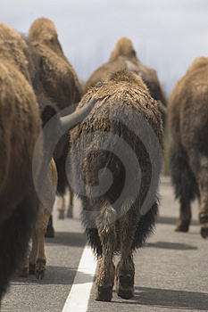 Bison Roadblock Stock Photography