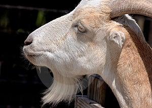 Goat Free Stock Image
