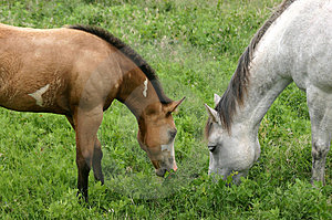 Mare And Colt Stock Photos