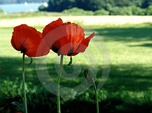 Giant Poppies Free Stock Image