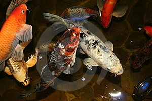 Exotic Fish, Japan Koi Royalty Free Stock Image - Image: 1405336
