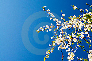 Beautiful Plum Tree Blossom. Stock Image - Image: 14000941