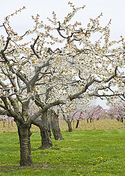Apple And Cherry Orchards In Spring Royalty Free Stock Image - Image: 14002686