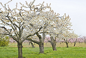 Apple And Cherry Orchards In Spring Royalty Free Stock Photos - Image: 14003308