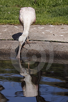 Roseate Spoonbill Stock Photo - Image: 14004630