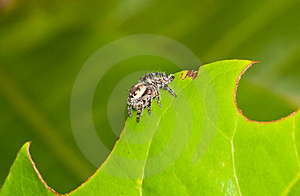 Wavy Leaf With Spider Royalty Free Stock Photo - Image: 14008225