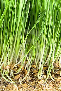 Green Grass With Roots Royalty Free Stock Photo - Image: 14008445