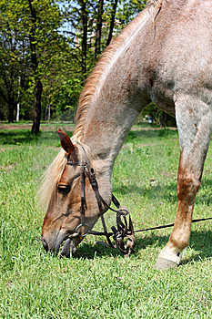 Horse Browse In Park Stock Photo - Image: 14010750