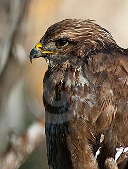 Buzzard Royalty Free Stock Images - Image: 14011709