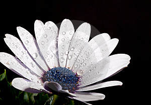 White Spanish Marguerite Stock Images - Image: 14012554