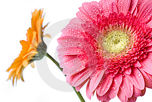 Pink Daisy-gerbera With Water Drops Royalty Free Stock Photography - Image: 14022257