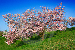 Blossoming Tree Royalty Free Stock Photography - Image: 14023167