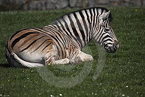 Plains Zebra Royalty Free Stock Images - Image: 14025249
