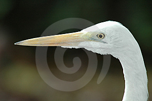 Great Egret Stock Photography - Image: 14026222