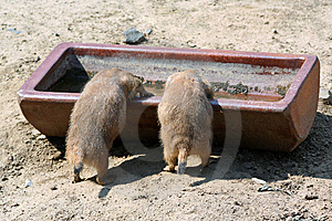 Prairie Dogs Stock Photos - Image: 14028613