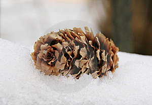 Pine Cone Royalty Free Stock Photography - Image: 14029687