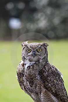 Eagle Owl Stock Photo - Image: 14031050