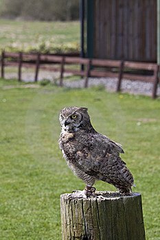 Eagle Owl Royalty Free Stock Images - Image: 14031119