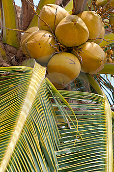 Coconut Tree Royalty Free Stock Photography - Image: 14038037