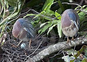 Green Heron Royalty Free Stock Photos - Image: 14038668