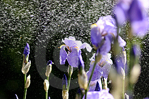 Water Drops On Beautiful Flowers Stock Photo - Image: 14038850