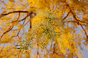 Weeping Willow Stock Image - Image: 14039871