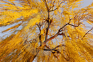 Weeping Willow Royalty Free Stock Photos - Image: 14039928