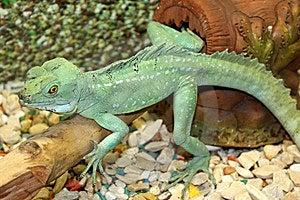 Green Lizard Stock Image - Image: 14041601