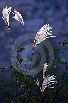 Ornamental Grass Royalty Free Stock Image - Image: 14043066