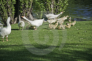 Geese With Their Offspring Royalty Free Stock Photography - Image: 14043737
