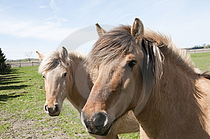 Pair Of Horses Stock Image - Image: 14048211