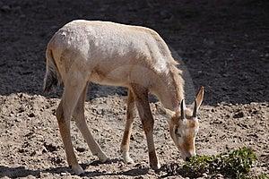 Roan Antelope Juvenile Stock Image - Image: 14050081