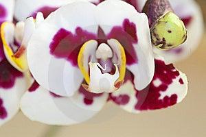 Orchid - Phalaenopsis-Hybrid Royalty Free Stock Image - Image: 14050846