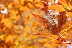 Maple Leaf Royalty Free Stock Images - Image: 14051399