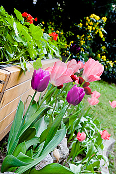 Tulips In Garden Royalty Free Stock Image - Image: 14052586
