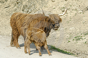 Yak Stock Photography - Image: 14052842