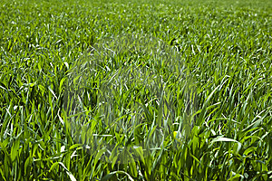 Wheat Field Royalty Free Stock Photography - Image: 14054527