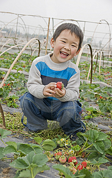 Smiling Boy Harvesting Strawberries Royalty Free Stock Images - Image: 14063129
