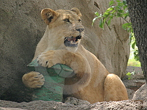 Playful Lioness Stock Photography - Image: 14063672