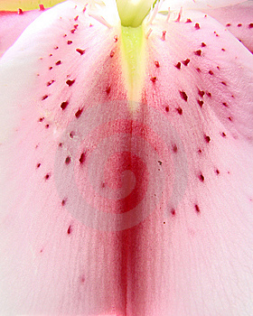 Pink Lily Royalty Free Stock Images - Image: 14069639