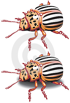 Colorado Potato Beetle Royalty Free Stock Photos - Image: 14069698