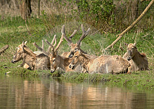 Wildlife - Père Davids Deer  Stock Images - Image: 14070004
