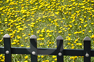 Wild Chrysanthemum  And The Fence. Royalty Free Stock Image - Image: 14071556