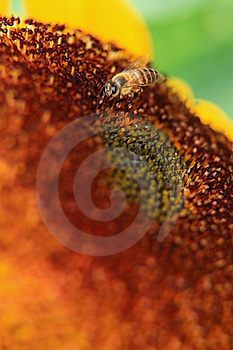 Bee On A Sunflower Royalty Free Stock Image - Image: 14072066