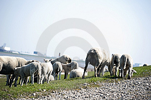 Sheep Flock Herd On Dike Royalty Free Stock Photo - Image: 14072275
